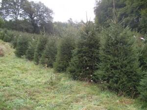 Veld met kerstbomen 3